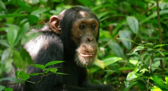 2 days Chimpanzee Trekking Safari in Uganda to Budongo Forest