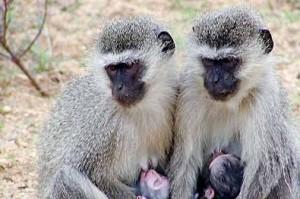 primates -uganda