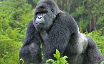 3 Days Gorilla Trekking Rwanda Tour