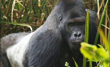 Short Congo Safaris