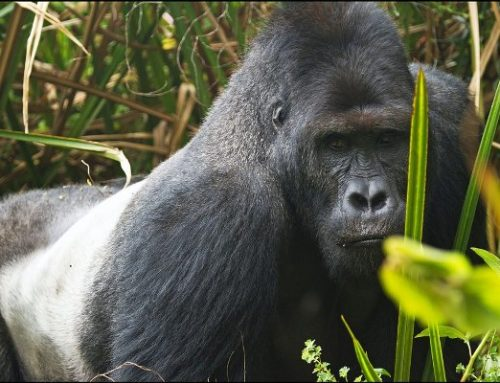 10 Days Scheduled Uganda Gorilla Safari Chimpanzee Trekking & Wildlife Safari in Uganda