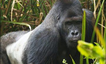 3 Days Low land Gorilla Safari in Congo