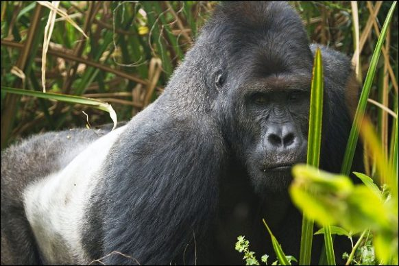 3 Days Low land Gorilla Safari in Congo