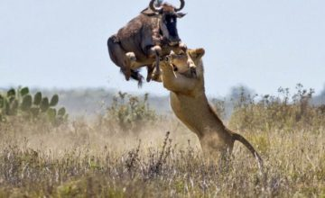 3 Days Maasai Mara Wildlife Safari in Kenya