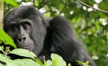 3 Days Mountain Gorilla Trekking Safari in Congo