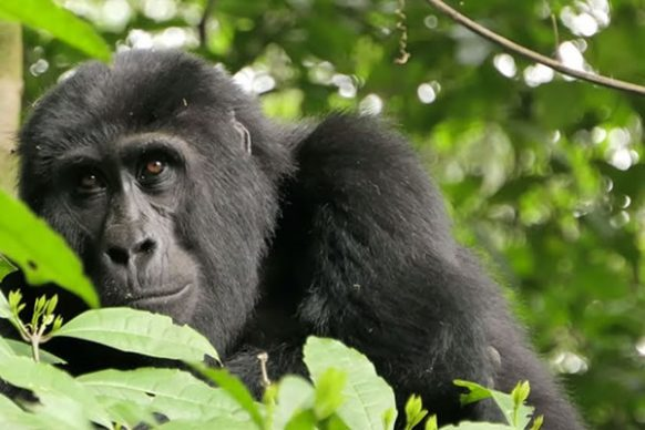 3 Days Mountain Gorilla Trekking Safari in Congo