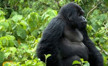 3 days Rwanda Gorilla safari tour & Dian Fossey – 3 Days