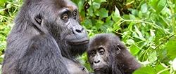 3-days-congo-gorilla