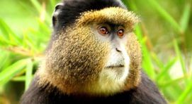 4 Days Gorilla Safari in Rwanda & Golden Monkey Tracking