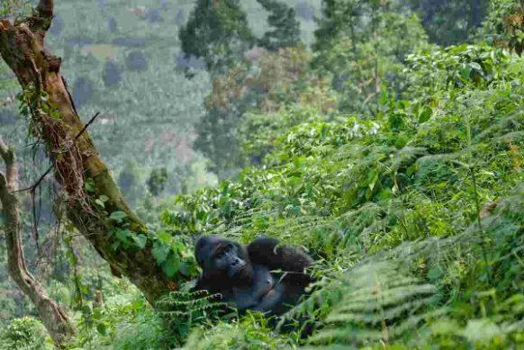4 Days Gorilla safari in Rwanda