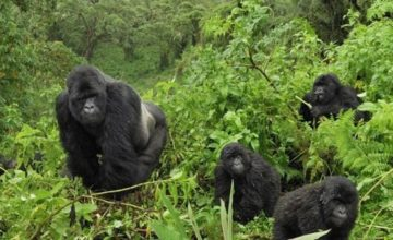4 Days Gorilla tour in Uganda - double tracking uganda tours