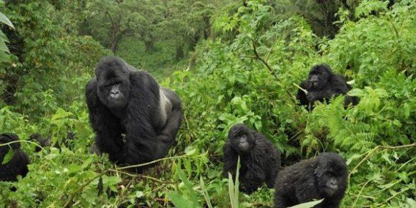 4 Days Gorilla tour in Uganda - double tracking uganda tours