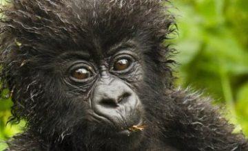 4 days double Rwanda Gorilla trek tour