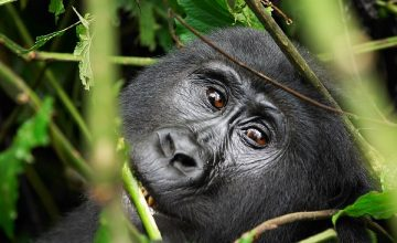 5 Days Africa Gorilla tour in Uganda uganda tours