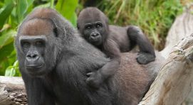5 Days Congo Gorilla Safari and Nyiragongo Mountain Climbing