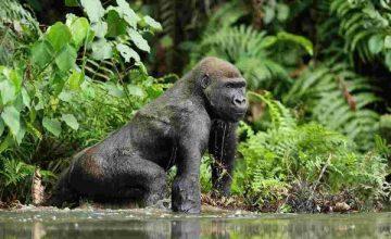 Long Congo Safaris