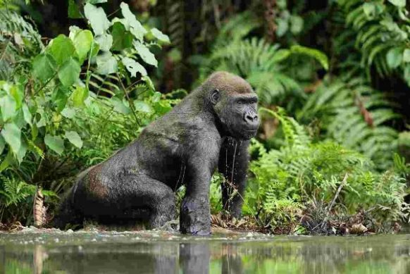 5 Days Congo Lowland Gorilla Tour & Nyungwe Chimpanzees