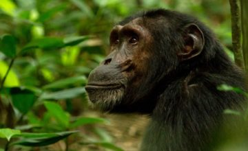 5 Days Gorilla and Chimpanzee Safari in Rwanda to Volcanoes and Nyungwe Forest National Parks