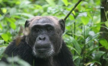 5 Days Wildlife & Chimpanzee trekking safari in Rwanda