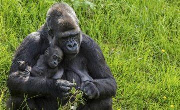 6 days Rwanda Gorilla Trekking Safari – 6 Days
