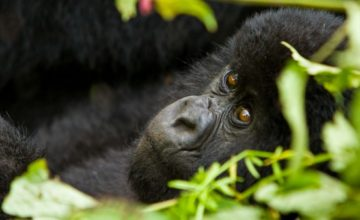 6 Days Gorilla and Chimpanzee Safari in Rwanda