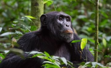 6 Days Rwanda Primate Safari – Track Chimpanzees & Colobus monkeys in Nyungwe Forest National Park & Track gorillas & golden monkeys in Volcanoes National Park