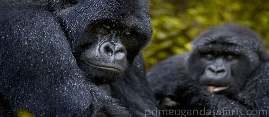 gorilla safari in summary images