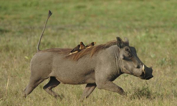 Uncover The Life of Pumba In The Wild on Your Uganda Wildlife Safari! – Uganda Safari News
