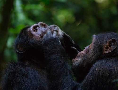 6 Days Scheduled Group Uganda Safari, Gorillas, Chimpanzee & Wildlife Tour.