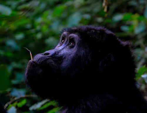 2 Days Uganda Gorilla Safari Tour Bwindi from Kigali Rwanda