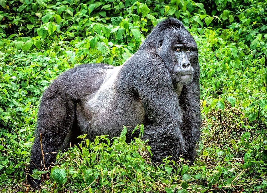 2 DAYS GORILLA TREKKING SAFARI UGANDA