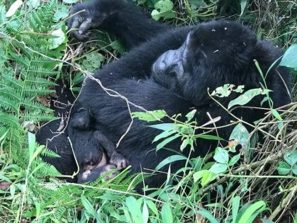 Mubare Gorilla Groups' Karungi Gives Birth To Second Baby Gorilla After a Period of 3 Weeks