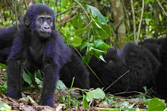 Rwanda Unveils Virtual Rwanda Gorilla Trekking Safari During the Lockdown