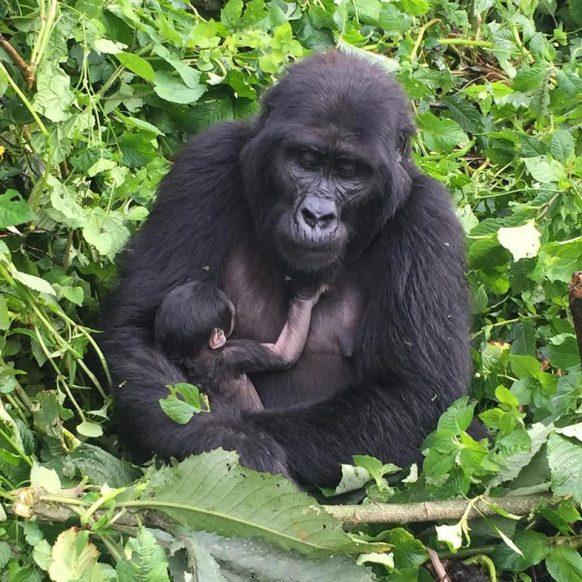 4 Days Uganda Gorilla Trekking Safari