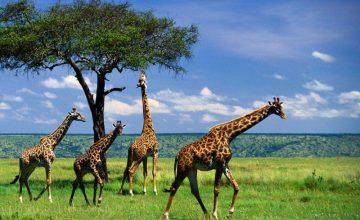 9 Days Tanzania Kenya Combined Safari to Amboseli, Tarangire, Ngorongoro, Serengeti & Maasai mara
