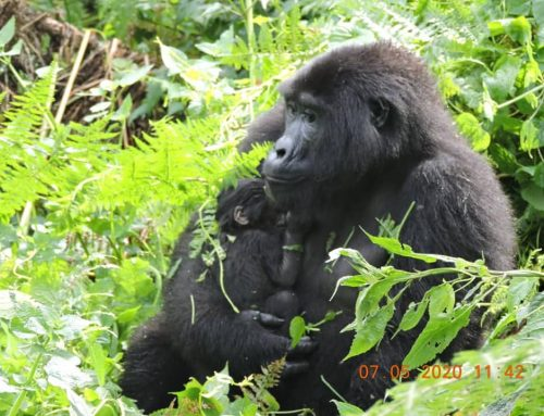 Two New Baby Gorillas Born in Bwindi Impenetrable National Park During Lockdown