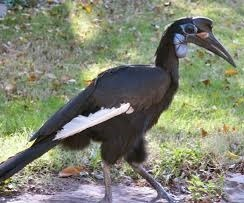 abyssinian-ground-hornbill-uganda-birding-safaris