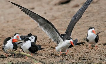 Birding Safari in Uganda Africa 21 Days