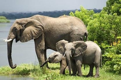 African elephants at murchison fall NP