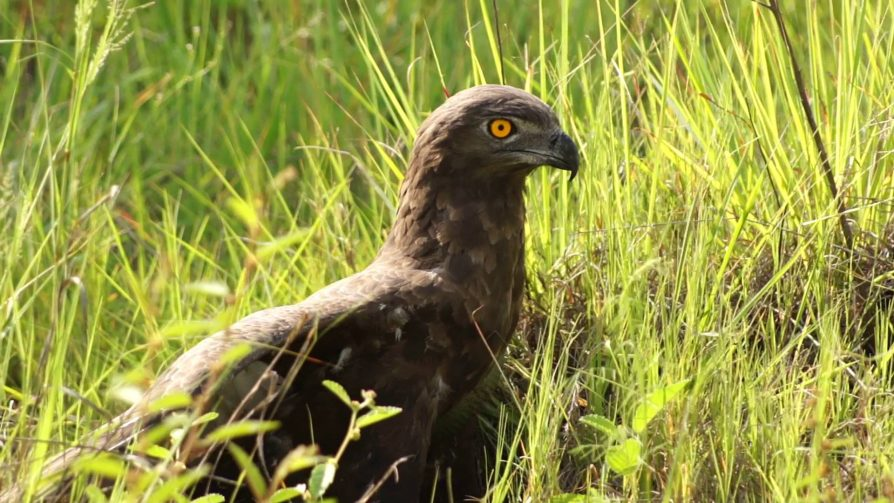 brown-snake-eagle-uganda-wildlife-safaris