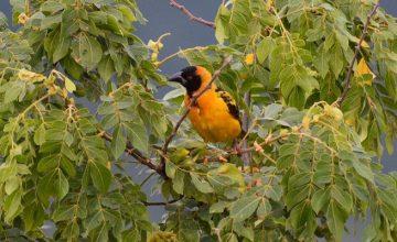 Birding-in-Toro-Semuliki-Wildlife-Reserve