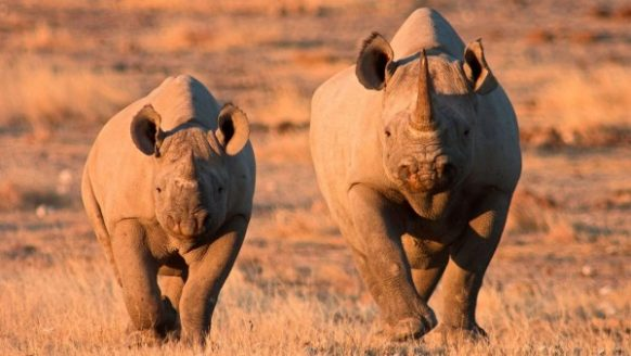 Black Rhino in Etosha National Park in Namibia