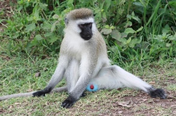 Blue-balled-Vervet-Monkey