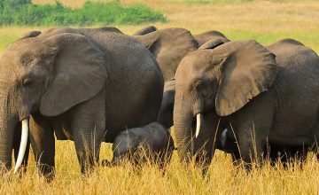 Budget-Safaris-Queen-Elizabeth-360x220