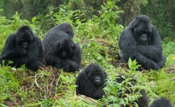 Bwindi Impenetrable Forest Gorilla Safari Trek in Uganda 3 Days