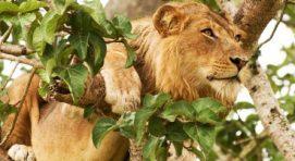 Bwindi & Queen Elizabeth Uganda safari 4 Days