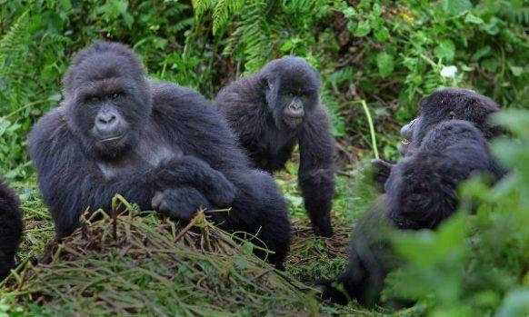 Bwindi gorilla trekking 4 days uganda tours