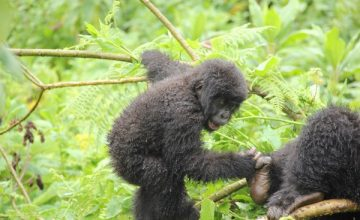 Can Gorillas climb trees Exploring more on gorilla safari in Uganda