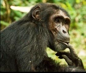 Chimps Kibale