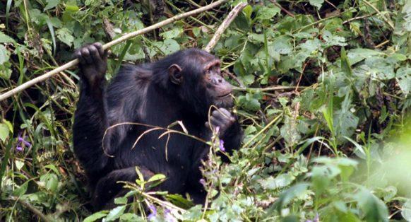 chimpanzee-nyungwe-park